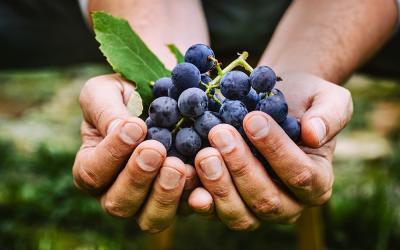 Milyen a jó borszőlő?